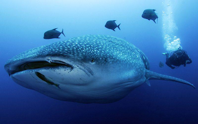 ecuador_megadiverso_tiburon