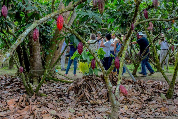cacao_plantation
