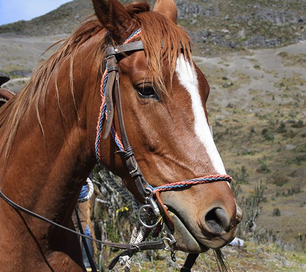 Andes_Horse